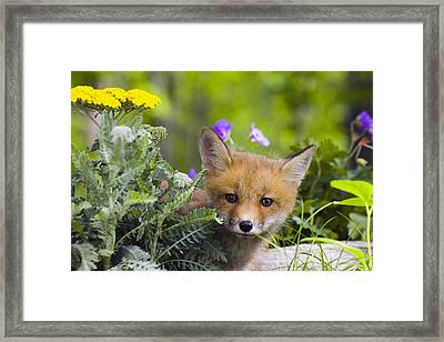 Red Fox Kit In Spring Wildflowers Framed Print by Michael DeYoung