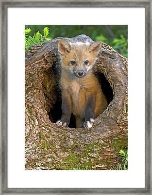 Red Fox Kit Framed Print