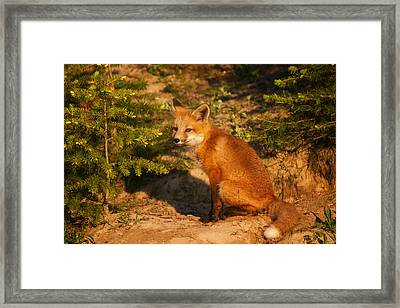 Red Fox Kit Framed Print