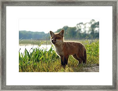 Red Fox Kit Framed Print by Olivier Le Queinec