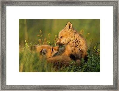 Red Fox Kits Framed Print by Ken Archer