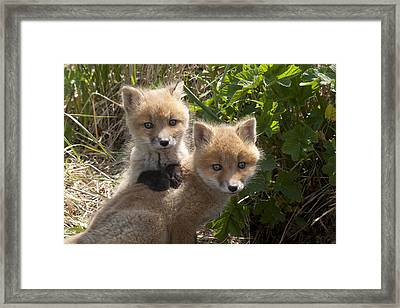 Red Fox Kits Playing Alaska Framed Print by Matthias Breiter