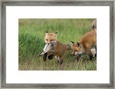Red Fox Kits Playing With Bird Wing Framed Print by Ken Archer