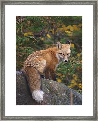 Framed Print featuring the photograph Red Fox by James Peterson