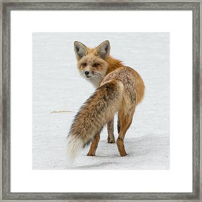 Framed Print featuring the photograph Red Fox Of Silver Gate by Yeates Photography