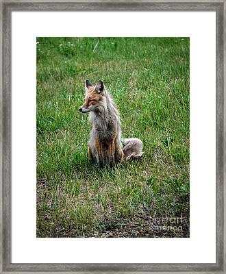 Red Fox Portrait Framed Print by Robert Bales