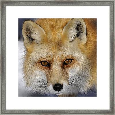 Red Fox Portrait Framed Print by Rodney Campbell