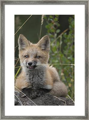 Red Fox Pup Nibbling On Grass Alaska Framed Print by Michael Quinton