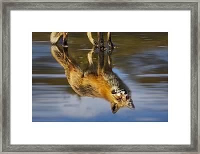 Red Fox Reflection Framed Print