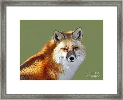 Red Fox Framed Print by Rodney Campbell