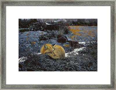 Red Fox Sleeping On Lichen Covered Rock Framed Print by Konrad Wothe