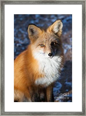 Red Fox Standing Framed Print