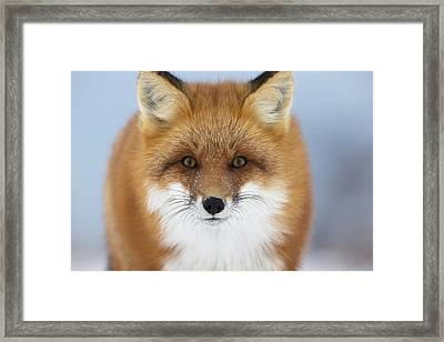 Red Fox Staring At The Camerachurchill Framed Print by Robert Postma