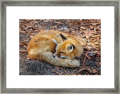 Framed Print featuring the photograph Red Fox  by Trace Kittrell