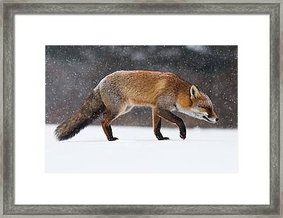 Red Fox Trotting Through A Snowshower Framed Print by Roeselien Raimond