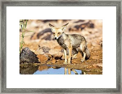 Red Fox Vulpes Vulpes Framed Print