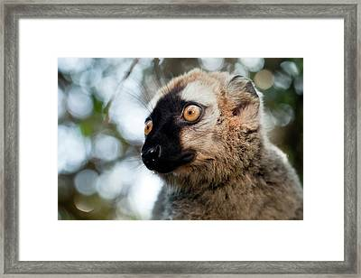 Red-fronted Brown Lemur Framed Print by Alex Hyde