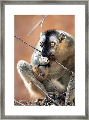Red-fronted Brown Lemur And Infant Framed Print by Alex Hyde