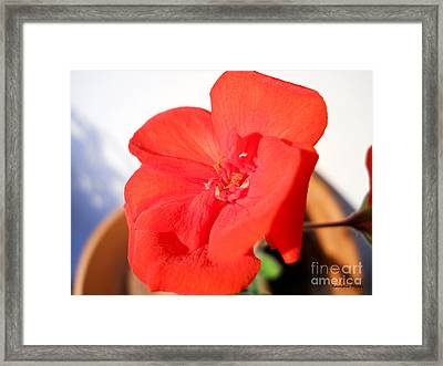 Red Geranium Framed Print by Ramona Matei
