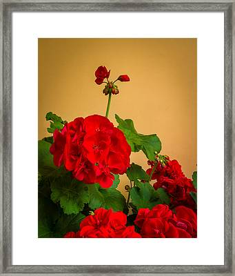 Red Geranium With Buds In Italy Framed Print by Ken Nelson