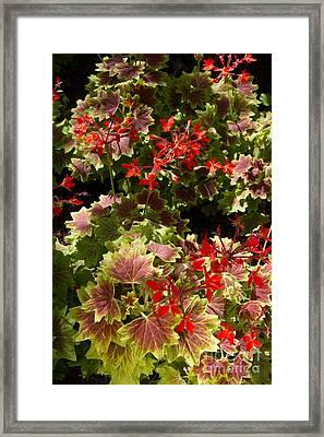 Red Geraniums 1 Framed Print by Chris Scroggins