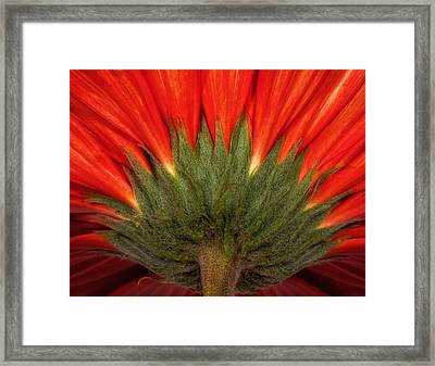 Framed Print featuring the photograph Red Gerber Daisy by Bob Coates
