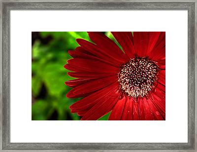 Red Gerber Daisy Framed Print