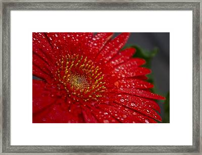 Red Gerber In The Rain Framed Print