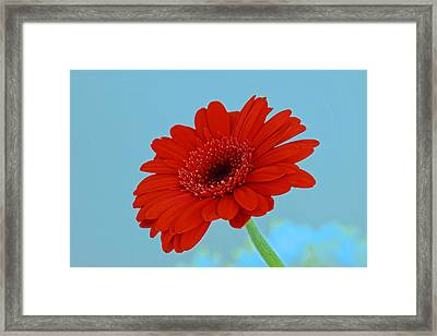 Red Gerbera Daisy Framed Print by Scott Carruthers