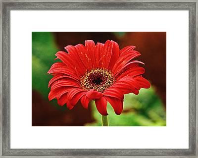 Red Gerbera Flower Framed Print by Johnson Moya