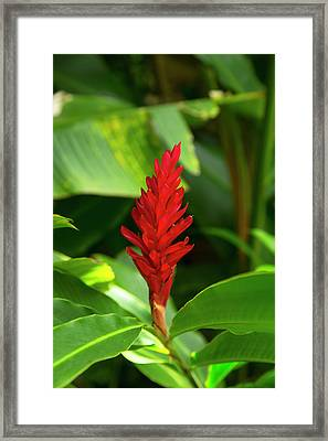 Red Ginger Flower, Waipio Valley Framed Print