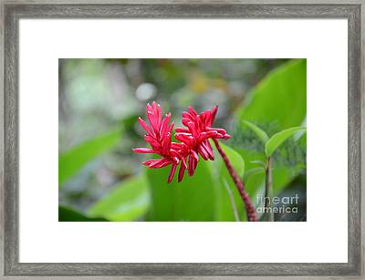 Red Ginger Framed Print