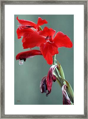 Red Gladiolus Framed Print by Ben and Raisa Gertsberg