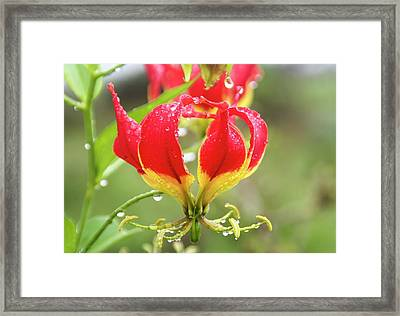 Red Gloriosa Lily Framed Print by Photostock-israel