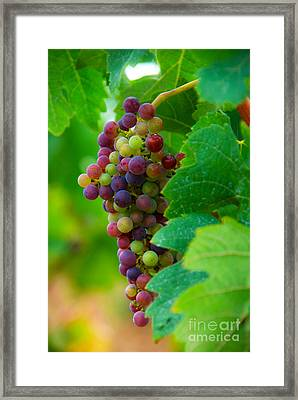 Red Grapes Framed Print by Hannes Cmarits