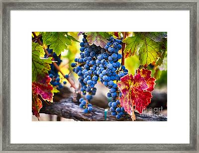 Blue Grapes On The Vine Framed Print by George Oze