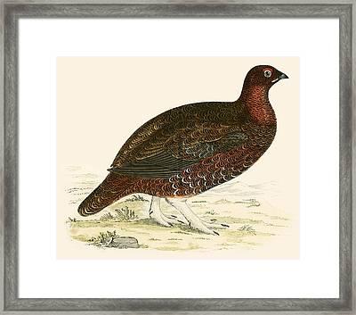 Red Grouse Framed Print by Beverley R Morris