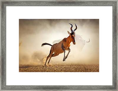 Red Hartebeest Running In Dust Framed Print