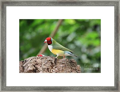 Red Headed Gouldian Finch Framed Print