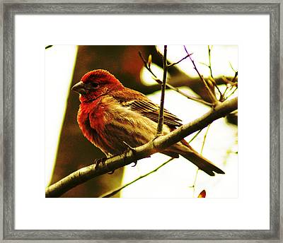 Red Headed House Finch Framed Print by B Wayne Mullins