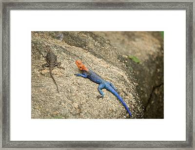Red-headed Rock Agama Framed Print by Photostock-israel
