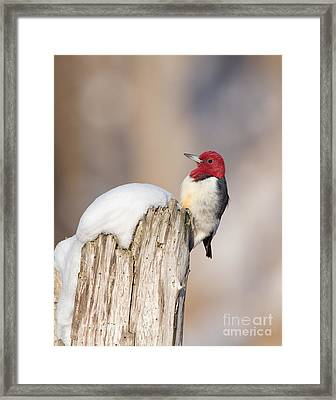 Red-headed Woodpecker Framed Print by Joshua Clark