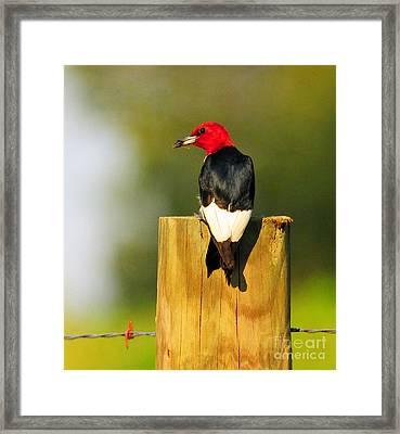 Red-headed Woodpecker Framed Print by Olivia Hardwicke