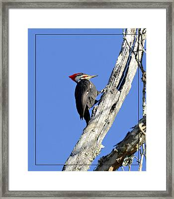Red Headed Woodpecker Framed Print by Susan Leggett