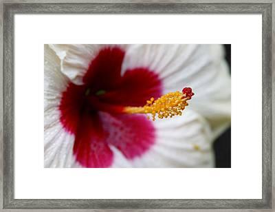 Red Heart Rose Of Sharon Hibiscus Framed Print by Karon Melillo DeVega