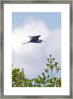 Red Heron In Flight In Sanibel Island Framed Print by Natural Focal Point Photography