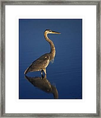 Red Heron Wading Framed Print