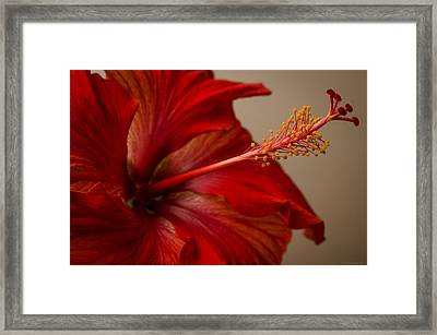 Red Hibiscus 5 Framed Print