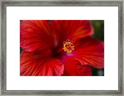 Red Hibiscus Framed Print by Eduard Moldoveanu