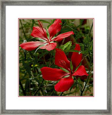 Red Hibiscus Blooms Framed Print